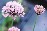 Allium palustris