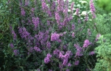 Lythrum salicaria ´Rose Gem´