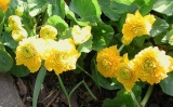 Caltha palustris ´Multiplex´