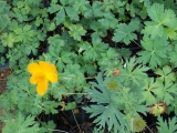 Trollius chinensis GOLD QUEEN
