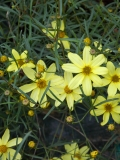 Coreopsis verticilata MOONBEAM