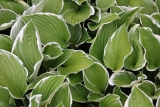 Hosta GREEN GOLD