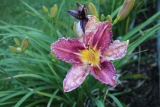 Hemerocallis CHICAGO KOBBY